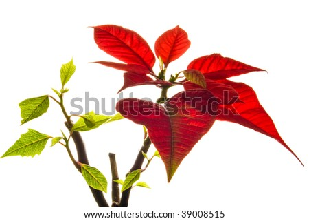 Christmas flower poinsettia isolated on white background
