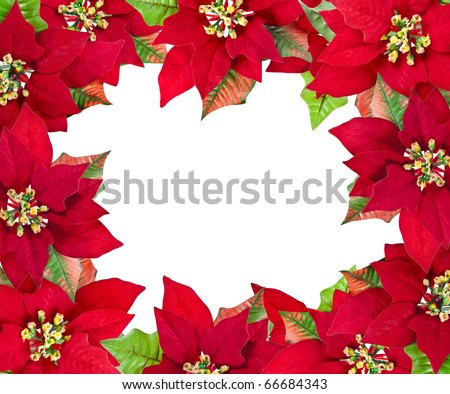 christmas frame from red poinsettias flower  isolated on white