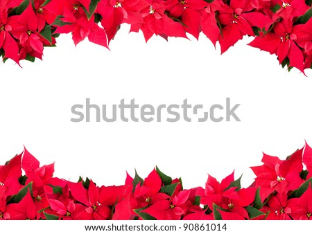 Christmas Frame of Flowers - Poinsettia (Euphorbia pulcherrima) on White Background