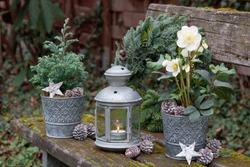 christmas garden decoration with helleborus niger, coniferous and vintage lantern