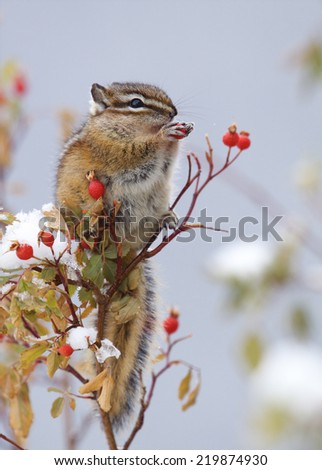 Christmas Holiday Wildlife a chipmunk perches amongst the snow covered branches of a Winter Berry bush and feasts upon the festive red berries