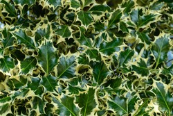Christmas holly ilex aquifolium Argentea Marginata growing in a park. Graceful border leaves as background for  New Year concept