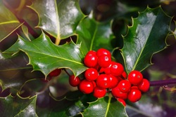 Christmas Holly red berries, Ilex aquifolium plant. Holly green foliage with mature red berries. Ilex aquifolium or Christmas holly. Green leaves and red berry Christmas holly, close up card