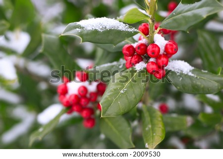 christmas holly under snow