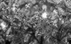 Christmas is coming. Branches of pine spruce close up. Coniferous evergreen spruce tree. Immortality eternal life. Spruce or conifer plant. Spruce fir or needles on natural background selective focus.