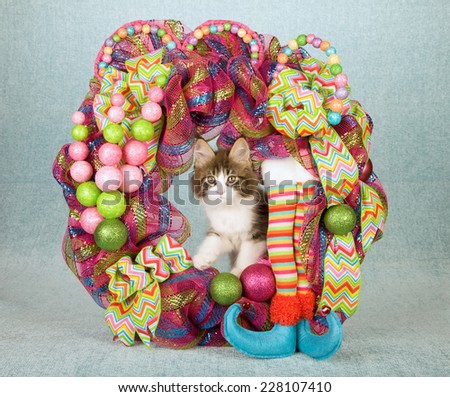Christmas Maine Coon kitten sitting inside Christmas wreath with elf legs ribbons bows and decorations