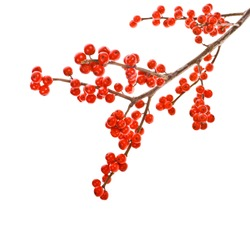 Christmas motif plant aquifolium - european holly ilex christmas decoration round red berries on branches without leaves  isolated on white background