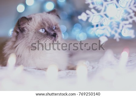 Christmas, New Year holiday calendar cat, cozy blue and white picture. Himalayan Persian color point cat. Can use for background or wallpaper, Christmas critters. Blue point cat look at snowflakes.