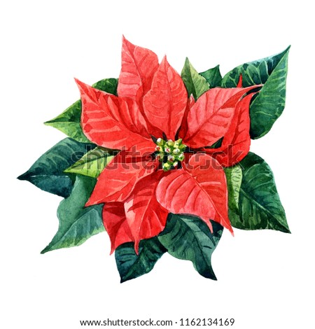 Christmas plant poinsettia painted watercolor.