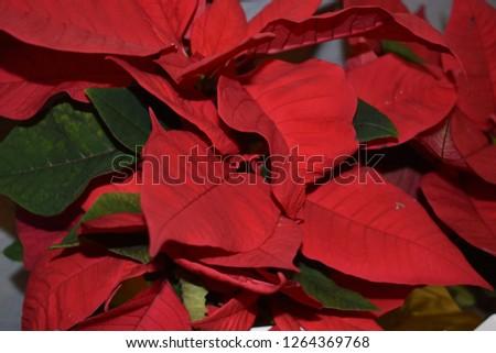 Christmas poinsettia closeup