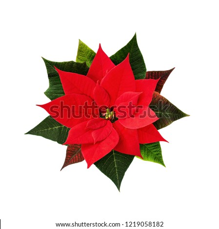 Christmas poinsettia flower isolated on white. Top view. Flat lay.