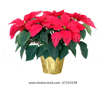 Christmas poinsettia isolated on a white background