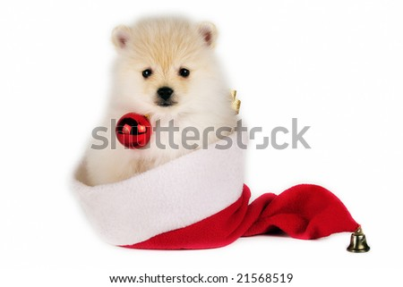 Christmas Pomeranian puppy with a Santa hat on white background.