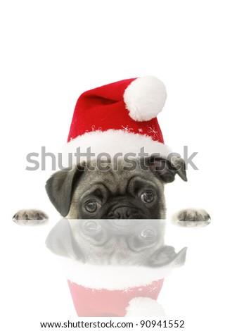 Christmas Pug Puppy Santa Hat Reflection on White Background - stock photo
