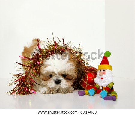Christmas Puppy - A Shih Tzu puppy and Christmas Holiday ornaments, garland and a Santa Claus doll against a white background.