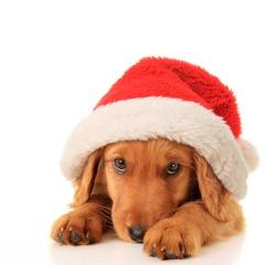 Christmas puppy wearing a Santa hat.