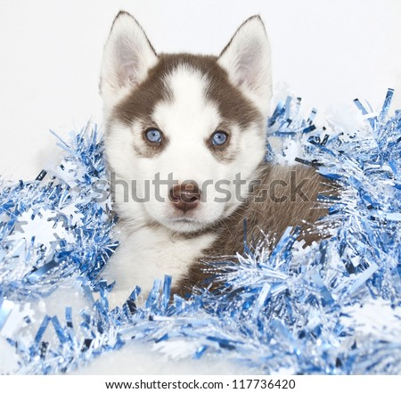 Christmas puppy with blue eyes and blue Christmas decor, on a white background.