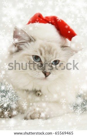 christmas ragdoll cat kitten