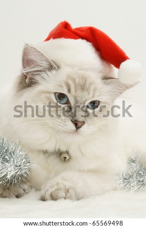 christmas ragdoll cat kitten