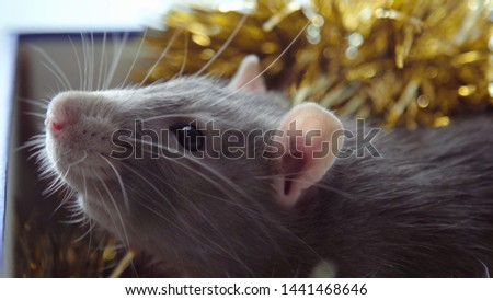 Christmas rat in a gift box. Gray mouse rat sitting in a Christmas box. New Year 2020 is the year of the rat