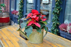 Christmas red flower poinsettia in tin watering pot and latern standing on table. Christmas winter decoration. Christmas card.