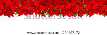 Christmas red flower poinsettia on white background. Floral border