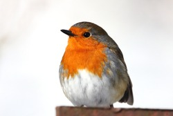 Christmas Robin redbreast in snow