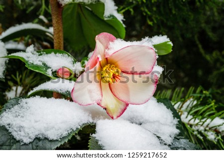 Christmas Rose Helleborus Flower with snow in garden, close up, macro. Hellebore Rose Flower variety Gold Collection.