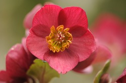 Christmas-Rose (Helleborus niger, black hellebore) is an evergreen perennial flowering plant in the buttercup family, Ranunculaceae. It is posisonous. Natural blurry background.