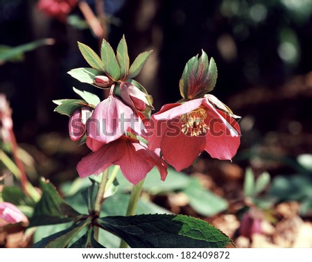 Christmas Rose Red Power