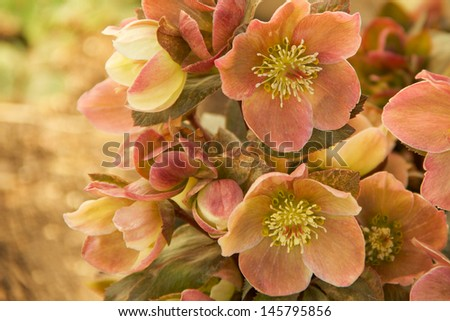 Christmas Rose The Christmas Rose or Lenten Rose has nodding flowers.  The Christmas Rose has petal of white, pink, green to mauve as they mature. Blooms in early spring - the Lent religious season.