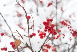 Christmas rowan berry branch. Hawthorn berries bunch. Rowanberry twig in snow. winter berry. Berries of red ash in snow. Winter background. Frosted red berries. Red rowan in hoarfrost.