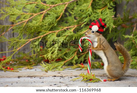 Christmas squirrel who seems to be very happy to have found a candy cane on a rustic wood and cedar background with copy space.