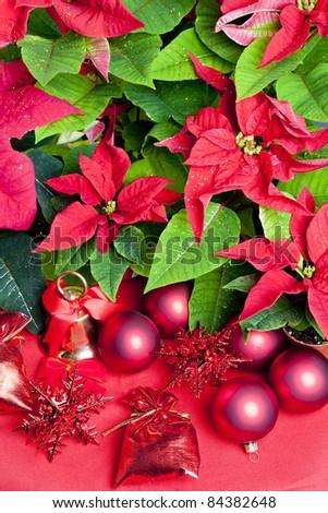 Christmas still life with Poinsettia