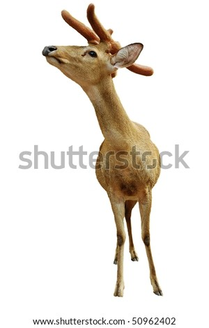 Christmas talisman.  Young deer isolated on white.