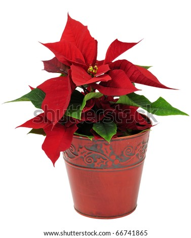 Christmas traditional flower