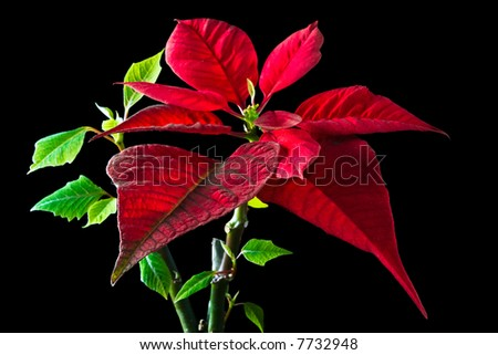 Christmas traditional flower poinsettia on black background