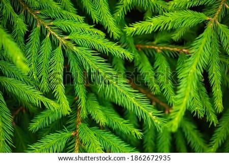 Christmas tree fresh green branches, natural background. Cristmas concept, chrismas symbol