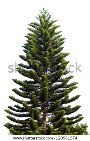 Christmas tree isolated on a white background without any decorations as a festive evergreen single plant in a open market.