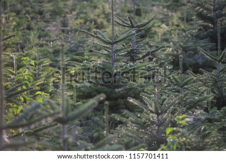 Christmas tree offspring in the Tree-Nursery #1157701411