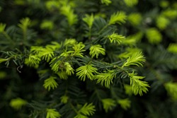 Christmas tree with young bright green tips. Young fir buds. Natural evergreen background.