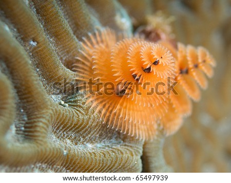 Christmas Tree Worm-Spirobranchus giganteus, growing in a calcareous tube on brain coral, picture taken in Broward County Florida.