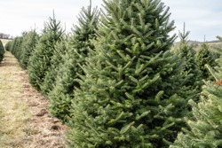 Christmas Trees in Rows at local Christmas Tree  Farm, Berks County, Pennsylvania