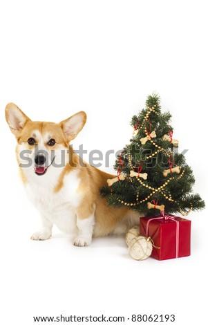 Christmas Welsh Corgi dog