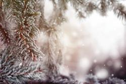 Christmas, winter background with frosty pine tree, Fir-tree. Beautiful seasonal background