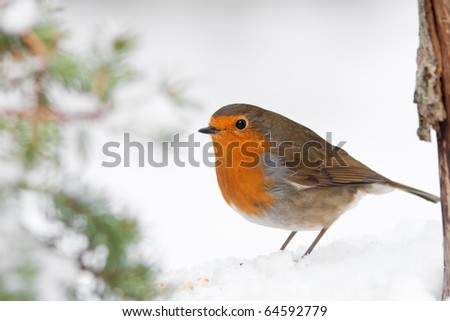 Christmas Winter Robin in Snow with Pine Tree