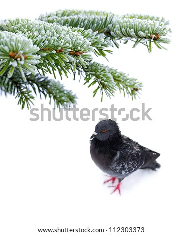 Christmas winter snowy background with spruce branch and frozen bird