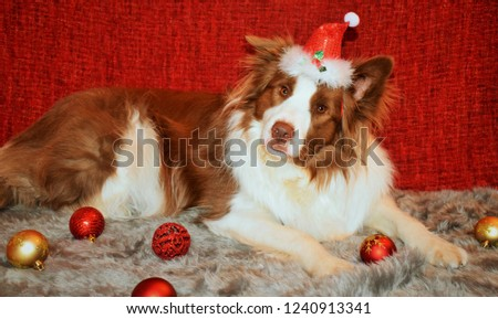 christmas with border collie #1240913341