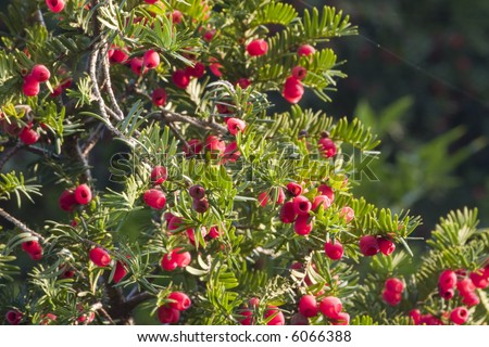 Christmas Yew (Taxus Baccata) in Fruit with Translucent Red Berries in evening Sunlight