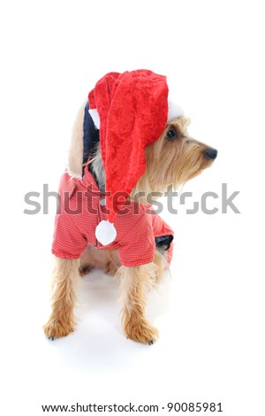 Christmas yorkie in christmas hat. Isolated on white background